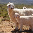 Angora goats — Stock Photo
