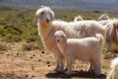 Angora goats — Stock Photo
