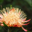 King Protea in full bloom — Stock Photo