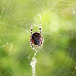 Spider suspended on a web — Stock Photo