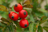Rosehip — Stock Photo