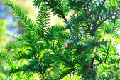 Background of coniferous branches with berries — Stock Photo