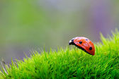 Ladybird on a blade — Stock Photo