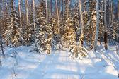 Winter forset — Stock Photo