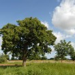 Karit tree - Stock Photo