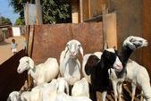 Sheep group — Stock Photo
