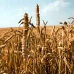 Mature wheat — Stock Photo #3945096