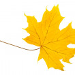 Yellow sheet of a maple — Stock Photo
