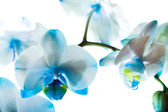 Dark blue orchid — Stock Photo