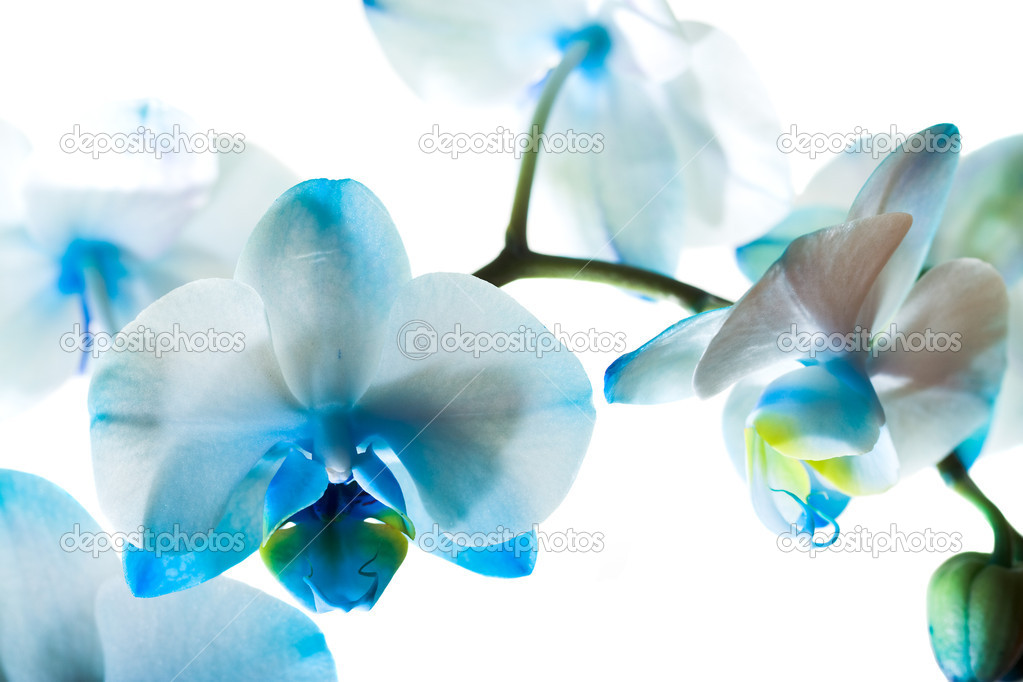 Small flowers of a blue orchid on a white background — Stock Photo #4415628