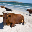 Cows at the seaside — Stock Photo