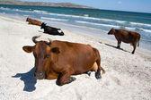 在海边的奶牛 — 图库照片