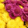 Bright chrysanthemum flowers background — Stock Photo #4286733