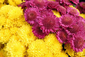 Bright chrysanthemum flowers background — Stock Photo