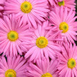 Stock Photo: Rosy chrysanthemum flowers background
