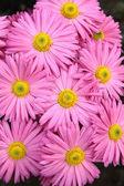 Rosiga chrysanthemum blommor bakgrund — Stockfoto