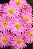 Rosy chrysanthemum flowers background — Stockfoto