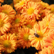 Chrysanthemum flowers  background — Foto de Stock