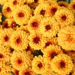 Stock Photo: Orange chrysanthemum flowers