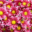 Autumn chrysanthemum flowers — Foto Stock