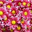 Stock Photo: Autumn chrysanthemum flowers