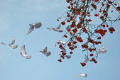 Rowanberry sky dove — Stock Photo