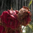 Old roses in the rain — Stock Photo