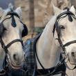 Stock Photo: Pair of horses