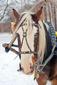 Horse harnessed to a sled — Stock Photo