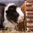 Guinea Pig — Stock Photo