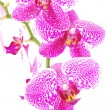 Branch of violet orchid,isolated - Stock Photo