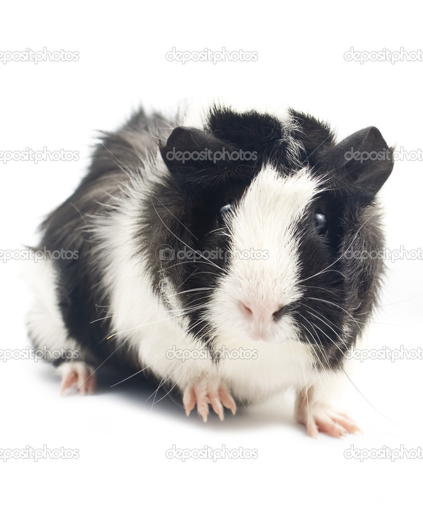 Guinea Pig  — Stock Photo #4738972