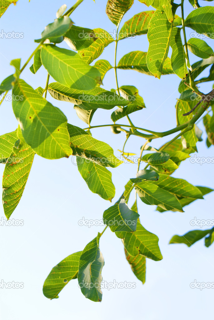 Green leaves with blue sky on background  Stock Photo #4741231