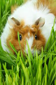 Guinea pig eating — Stock Photo