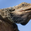 Australian Bearded Dragon — Stock Photo