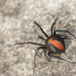 Australian Red Back Spider - Stock Photo