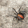 Australian Red Back Spider — Stock Photo