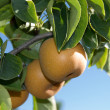 nashi pears — Stock Photo