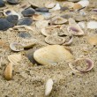 Stock Photo: It is lot of cockleshells ashore