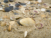 It is a lot of cockleshells ashore — Stock Photo