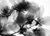 Dried branch of jasmine flower — Stock Photo