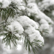 Winter. Closeup to pine branch — Stock Photo