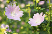 Lavatera flowers — Stockfoto
