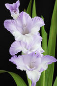 Violet gladiolus — Stock Photo
