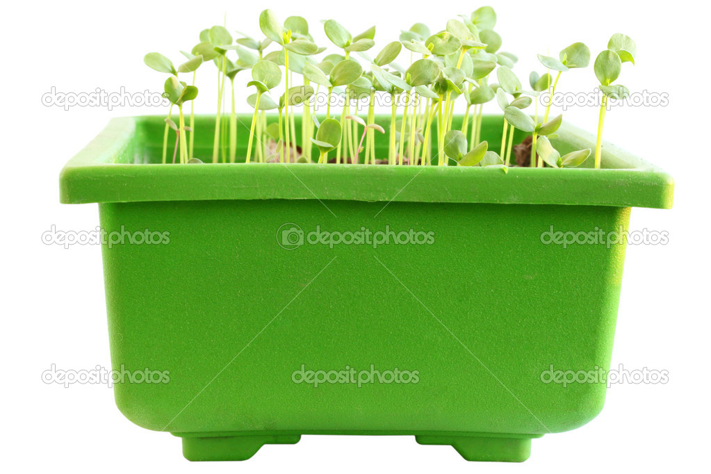 Young sprouts of flax in the container — Stock Photo #5150114