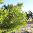 Green branch of the pine tree — Stock Photo #4295018