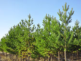Pine trees — Stock Photo