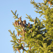 Fur-tree branch with cones — Stock Photo