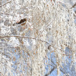 Stock Photo: Winter bird