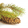 图库照片: Brown pine cone and a green branch.